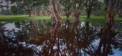 #4716 Centennial Park (Rmonty119) Tags: canon eosr travel sydney australia centennial park tree swamp water wet colour color skylum luminar 4
