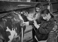 Florida State Fair 2020 (Beth Reynolds) Tags: story cow agriculture fair florida friends blackandwhite water wash calves 4h fun livestock