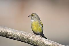 Verdone _006 (Rolando CRINITI) Tags: verdone uccelli uccello birds ornitologia avifauna racconigi natura