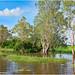 Melaleucas (aka Ti-Trees or Paperbark) - Yellow Waters Billabong, Kakadu National Park, Northern Territory, Australia.05