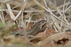Zootoca vivipara louislantzi, mâle en héliothermie (coteaux de Montgaillard). (G. Pottier) Tags: zootoca zootocavivipara zootocaviviparalouislantzi lézardvivipare lézardviviparedelantz gascogne herpétofaune lézard reptile lacertidae squamata sauria héliothermie hautespyrénées occitanie d850 afsnikkor300mmf4epfedvr viviparouslizard waldeidechse lagartijadeturbera montgaillard valléedeladour biodiversité