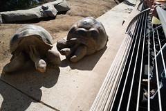 Tortoises Color (Joe Wilcox) Tags: leicaq2 tortoise reptile sandiegozoo sandiego