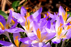 The First Visitor (ivlys) Tags: darmstadt garten minigarden krokus crroci blume flower blüte blossom biene bee insekt insect sonnenschein sunshine natur nature ivlys