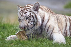 Playing with the coffee cup (Tambako the Jaguar) Tags: bengal big biting cardboard cat coffeecup crémines cute d5 face female fun grass lying nikon playing portrait relaxing resting sikypark switzerland tiger tigress toy white wild young zoo