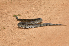 Python in the road (Sumarie Slabber) Tags: snake animal wildlife southafrica nature python