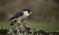 Peregrine Falcon (Charles Connor) Tags: peregrinefalcon peregrine raptors birdphotography birdswithprey naturephotography nature backgroundblur bokeh charlesconnor canondslr