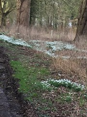 HULCOTE SNOWDROPS 003 (smtfhw) Tags: 2020 plants flowers sightseeing travel hulcote northamptonshire britain