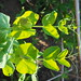 Pisum sativum (leaves)_PC150018