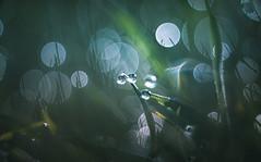 dewdrops (Dhina A) Tags: sony a7rii ilce7rm2 france lens projector slide 100mm projection 29 malik f29 anastigmat a7r triolam a7r2 maliktriolamfranceanastigmat100mmf29 water french dewdrops drops bokeh manualfocus