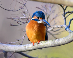 Kingfisher (shinichiro*@Hokkaido-until0217) Tags: 町田市 東京都 日本 20200130ds25821 2020 crazyshin nikonz6 z6 ftz sigma150600mmf563dgoshsmcontemporary winter january tokyo japan jp 薬師池公園 bird birds sspriority isoauto 49541852697 candidate