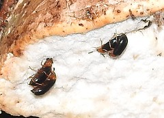 four Tetratoma  fungorum on birch polypore (BSCG (Badenoch and Strathspey Conservation Group)) Tags: sw beetle coleoptera insect night flash woodland birch betula