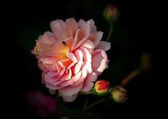 Rose de mai (mamietherese1) Tags: earthmarvels50earthfaves world100f flowerscolors fa
