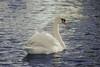 Graceful swan ...