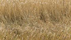 (Patricia Wilden) Tags: morning cleynextthesea norfolkuk landscape eos70d cley northnorfolk norfolk light reedbed abstract vegetation coastal