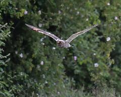 Long-eared Owl (KHR Images) Tags: longearedowl asiootus wild bird birdofprey owlet juvenile inflight flying dusk cambridgeshire fens wildlife nature nikon d500 kevinrobson khrimages