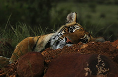 Wild tiger at Canyon Tiger (conservation project dedicated to preserving the critically endangered Bengali tiger). Great Karoo - South Africa (lotusblancphotography) Tags: africa afrique southafrica nature wildlife faune animal tiger tigre closeup