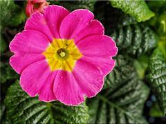 Macro shot of a Primula Flower (Ostseetroll) Tags: deu deutschland geo:lat=5403892532 geo:lon=1068906922 geotagged pönitzamsee scharbeutz schleswigholstein primula primel frühling spring blüte blossom makroaufnahme macroshot olympus em10markii