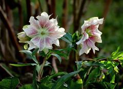 schönen Sonntag !!! (karin_b1966) Tags: blume flower blüte blossom pflanze plant garten garden natur nature 2020 christrose yourbestoftoday