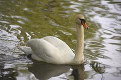 Swan on the Avon River (D70) Tags: swan avon river avonriver stratford ontario canada