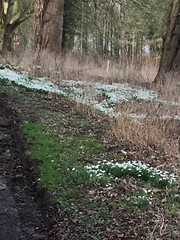 HULCOTE SNOWDROPS 002 (smtfhw) Tags: 2020 plants flowers sightseeing travel hulcote northamptonshire britain