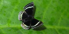 Chalodeta theodora (hippobosca) Tags: butterfly ecuador riodinidae chalodetatheodora macro insect lepidoptera metalmark