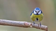 Mésange (Phil du Valois) Tags: mésange bleue passereau oiseau faune sauvage libre bird eurasianbluetit tit blue wild wildlfe free