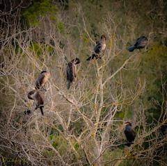 Cormorans, Gorges du Gardon (laudato si) Tags: birds oiseaux cormorans gorgesdugardon gardon gard gorges rivière river occitanie sud randonnée landscape paysage hiver