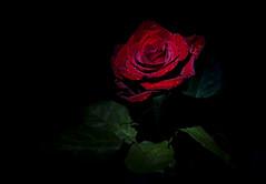 ... rose love ... (Jane Friel) Tags: 52weeksof2020 week6 lowkey flower flowers rose redpoppy redroses single singleflower valentine valentinesday janefriel janefriel2020 drops droplets roselove torch torchlight