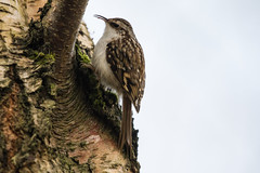 Photo of Treecreeper hunting for lunch