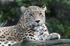 Persian leopard - Safaripark Beekse Bergen (Mandenno photography) Tags: animal animals dierenpark dierentuin dieren zoo safari safaripark park bigcat big cat cats persian persianleopard leopard leopards bbcearth discovery nature natgeo natgeographic