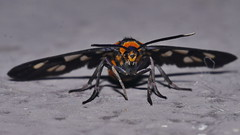 White tip wasp moth Amata nigriceps Arctiidae Mandalay rainforest Airlie Beach P1210226 (Steve & Alison1) Tags: white tip wasp moth amata nigriceps arctiidae mandalay rainforest airlie beach