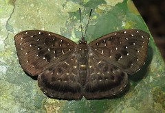 Napaea mellosa (Over 6 million views!) Tags: butterfly ecuador riodinidae napaeamellosa insect butterflies