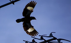 My morning flight (VERODAR) Tags: mynah sky morning morninglight morningsky bird birdinflight bluesky nature wildlife wildbirds nikon verodar veronicasridar