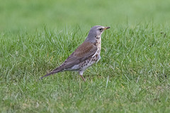 Photo of Fieldfare an the first Tee