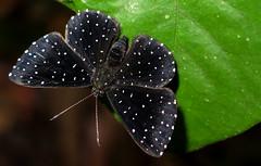 Echydna punctata - Starry Night Metalmark (hippobosca) Tags: butterfly ecuador riodinidae echydnapunctata macro insect lepidoptera metalmark