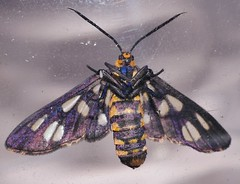 White tip wasp moth Amata nigriceps Arctiidae Mandalay rainforest Airlie Beach P1210195 (Steve & Alison1) Tags: white tip wasp moth amata nigriceps arctiidae mandalay rainforest airlie beach