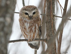 Northern Saw-Whet (leggo.laird) Tags: sawwhetowl canon7d northern northernowl owl raptor winter hunter predator forest wildlife borealspecies