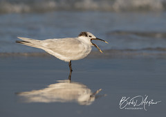 Sandwich Tern (Barb D'Arpino Photography) Tags: sandwichtern shorebird nature wildlife outdoors winter canon1dx eos1dx florida usa northamerica barbaralynne copyrightbarbdarpino barbaralynnedarpino barbdeardendarpino naturephotographer femalephotographer wildlifephotographer wasagabeachphotographer