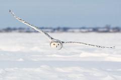 ''Droit devant!'' hafang des neiges-Snowy owl (pascaleforest) Tags: oiseau bird animal passion nikon nature wild widlife faune québec canada