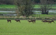 Roe deer (hedgehoggarden1) Tags: roedeer deer mammals animals nature wildlife creatures sonycybershot norfolk field eastanglia uk breckland sony