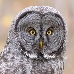 Great Grey Owl, Grand Teton National Park (tsaiproject) Tags: grandtetonnationalpark greatgrayowl greatgreyowl nikon200500 nikon200500mm nikond810
