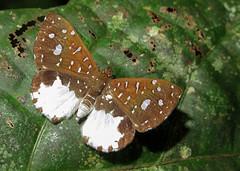 Ithomiola orpheus (hippobosca) Tags: butterfly ecuador ithomiolaorpheus riodinidae macro insect lepidoptera metalmark