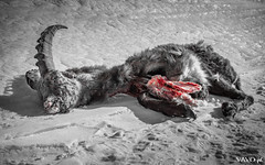 Dead alpine ibex along the way (vavoph) Tags: stambecco alpine ibex dead morto death trace tracce sangue blood gran paradiso mountain montagna neve snow animal animale killed alpi alps steinbock bouquetin corna horn black white bw valle orco vavoph canon 80d park parco natural naturale nazionale national
