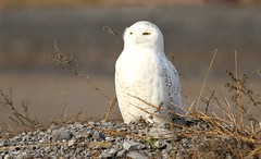Snowy Owl (leggo.laird) Tags: snowyowl snowy owl northern north wildlife canon7d raptor naturephotography nature roosting northernowl