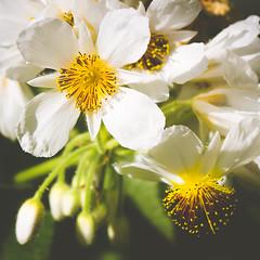 P1210881 (Trude Graz) Tags: blumenundpflanzen botanischergarten graz white weiss