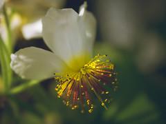 P1210878 (Trude Graz) Tags: blumenundpflanzen botanischergarten graz