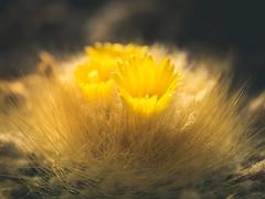 P1210851 (Trude Graz) Tags: blumenundpflanzen botanischergarten graz yellow gelb