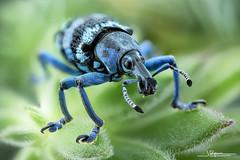 Eupholus lineii (quenoteam) Tags: minolta macro closeup beetle stacking mitutoyo