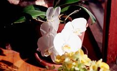 orchid (bluebird87) Tags: flower orchid lightroom kodak portra 160 dx0 c41 epson v800 nikon f5