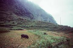 Pig in the Fields (hiphopmilk) Tags: copyright©jaredyehwooehmoehfilms film analog 35mm kodak analogue kodakfilm 135film jaredyeh travel pig nikon vietnam swine nikkor nikonfm2 sapa laocai fansipan catcatvillage nikonfm2n laochải hiphopmilk green field piggy rice paddy farm hog oink cultivation